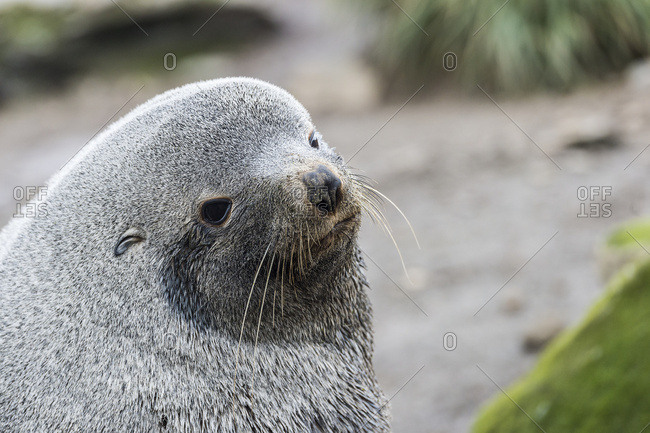 Antarctic fur seal (Arctocephalus gazella), South Georgia, South Georgia, South Georgia and the South Sandwich Islands, United Kingdom