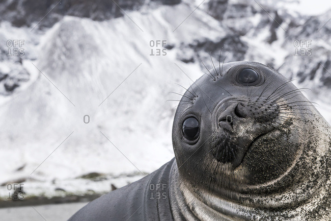 Elephant seal (Mirounga leonina) smile, South Georgia, South Georgia, South Georgia and the South Sandwich Islands, United Kingdom
