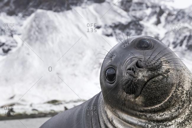 Elephant seal (Mirounga leonina) smile, South Georgia, South Georgia, South Georgia and the South Sandwich Islands, United Kingdom