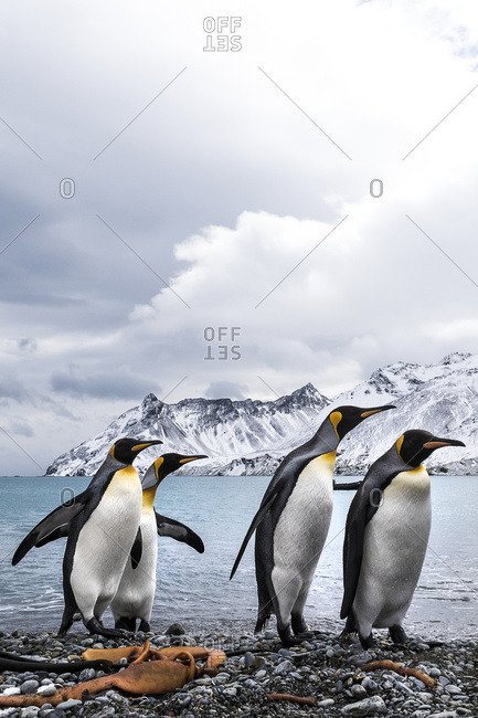 Four King penguins (Aptenodytes patagonicus) on a beach walking in a row, South Georgia, South Georgia, South Georgia and the South Sandwich Islands, United Kingdom