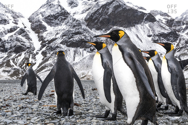 King penguins (Aptenodytes patagonicus) walking on a beach, South Georgia, South Georgia, South Georgia and the South Sandwich Islands, United Kingdom