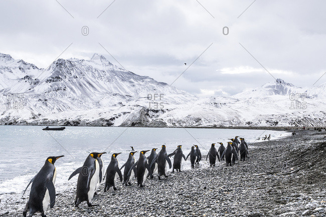 King penguins (Aptenodytes patagonicus) walking in a row along the water's edge and a zodiac moored in the water along the coast, South Georgia, South Georgia, South Georgia and the South Sandwich Islands, United Kingdom