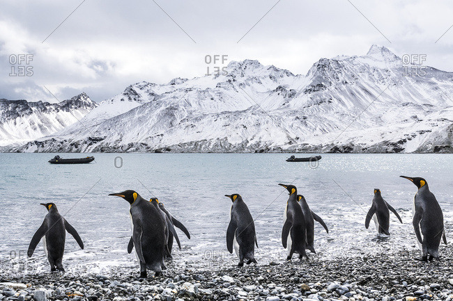 King penguins (Aptenodytes patagonicus) walking into the water and zodiacs moored in the water along the coast, South Georgia, South Georgia, South Georgia and the South Sandwich Islands, United Kingdom