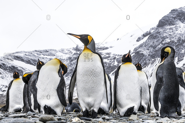 King penguins (Aptenodytes patagonicus) on a beach, South Georgia, South Georgia, South Georgia and the South Sandwich Islands, United Kingdom