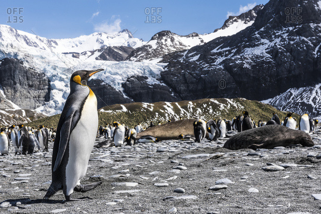 King penguin (Aptenodytes patagonicus) colony on a beach, South Georgia, South Georgia and the South Sandwich Islands, United Kingdom