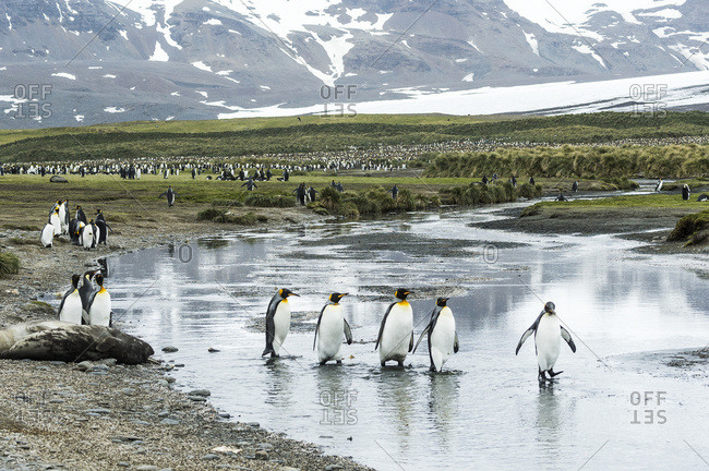 King penguins (Aptenodytes patagonicus) wading in shallow water, South Georgia, South Georgia and the South Sandwich Islands, United Kingdom