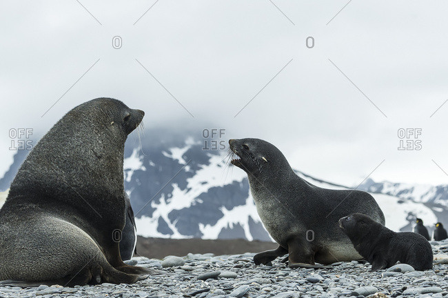 Antarctic fur seal family (Arctocephalus gazella), South Georgia, South Georgia and the South Sandwich Islands, United Kingdom