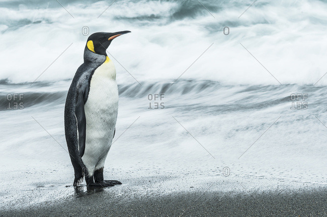 King penguin (Aptenodytes patagonicus) standing on the wet beach, South Georgia, South Georgia and the South Sandwich Islands, United Kingdom