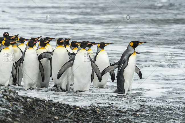 King penguins (Aptenodytes patagonicus)in Fortuna Bay, South Georgia, South Georgia and the South Sandwich Islands, United Kingdom