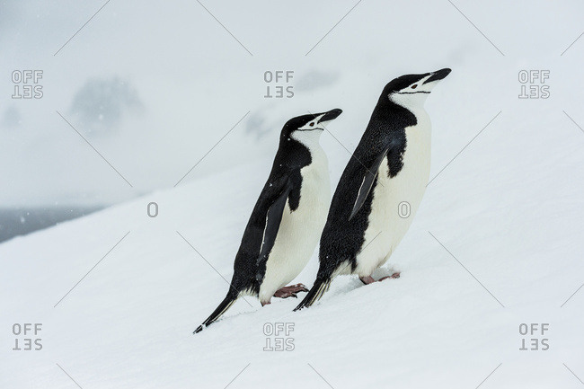 Chinstrap penguins (Pygoscelis antarctica) in a snowfall, Half Moon Island, South Shetlands, Antarctica