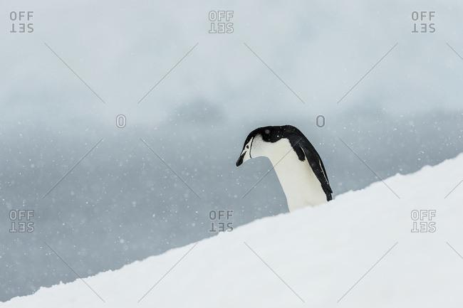 Chinstrap Penguin (Pygoscelis antarctica), Half Moon Island, South Shetland Islands, Antarctica