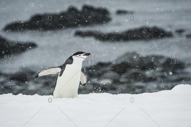 Chinstrap Penguin (Pygoscelis antarctica) in a snowfall, Half Moon Island, South Shetland Islands, Antarctica