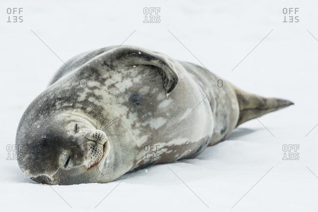 Weddell seal (Leptonychotes weddellii), Half Moon Island, South Shetland Islands, Antarctica