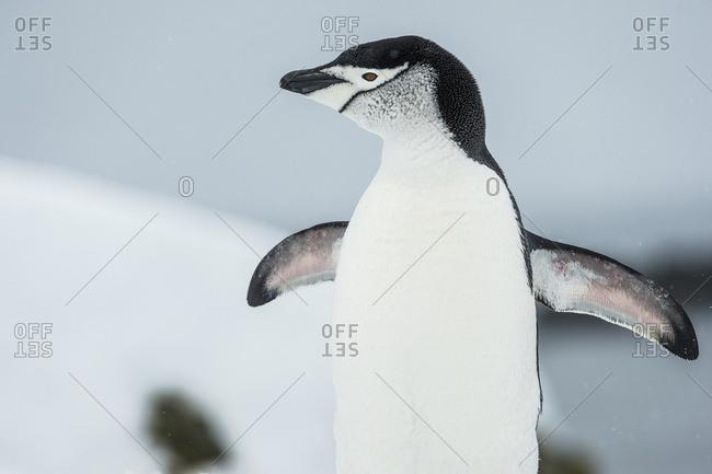 Chinstrap Penguin (Pygoscelis antarctica) cooling off, Half Moon Island, South Shetland Islands, Antarctica