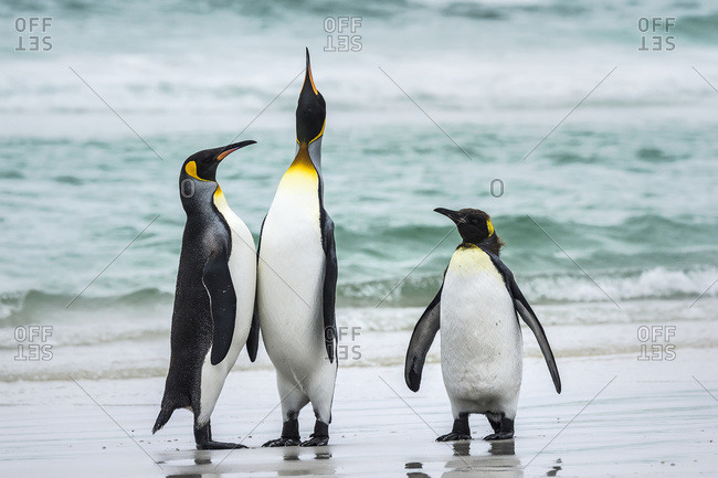 King penguins (Aptenodytes patagonicus) with a Gentoo penguin (Pygoscelis papua), Volunteer Point, East Falkland, Falkland Islands