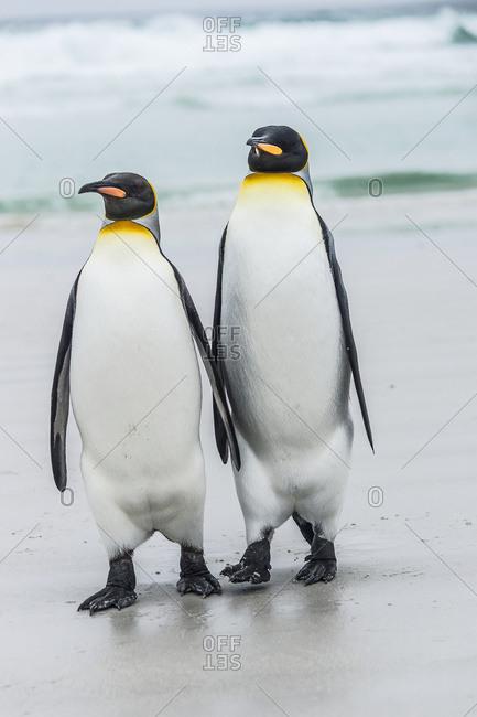 King penguin (Aptenodytes patagonicus) pair, Volunteer Point, East Falkland, Falkland Islands