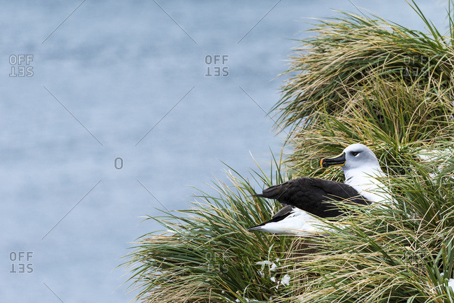 Black-browed albatross (Thalassarche melanophris) nesting, South Georgia, South Georgia and the South Sandwich Islands, United Kingdom