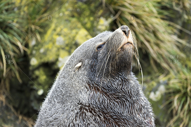 Antarctic fur seal (Arctocephalus gazella), South Georgia, South Georgia and the South Sandwich Islands, United Kingdom