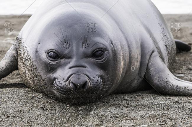Elephant seal (Mirounga leonina) pup, South Georgia, South Georgia and the South Sandwich Islands, United Kingdom