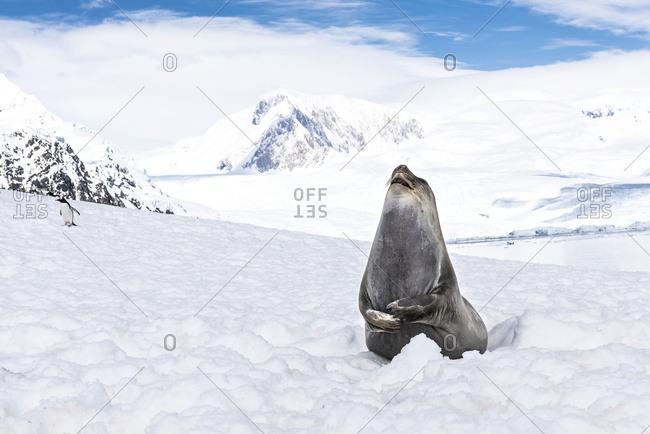 Elephant seal (Mirounga leonina) laughing, Neko Harbor, Antarctica