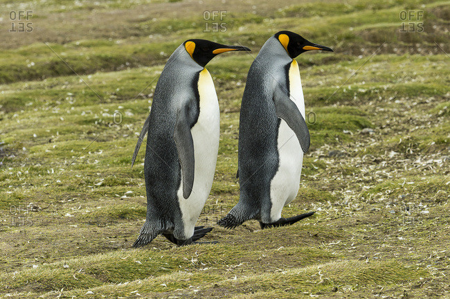 King penguin (Aptenodytes patagonicus) pair, Salisbury Plain, South Georgia, South Georgia and the South Sandwich Islands, United Kingdom