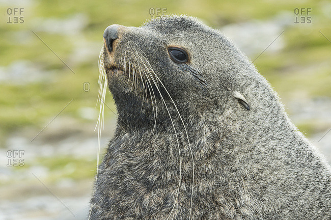 Close up of an Antarctic fur seal (Arctocephalus gazella), Salisbury Plain, South Georgia, South Georgia and the South Sandwich Islands, United Kingdom