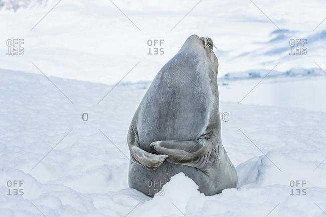 Southern Elephant Seal (Mirounga leonina) looking up to the sky and laughing, Neko Harbor, Antarctic Peninsula, Antarctica