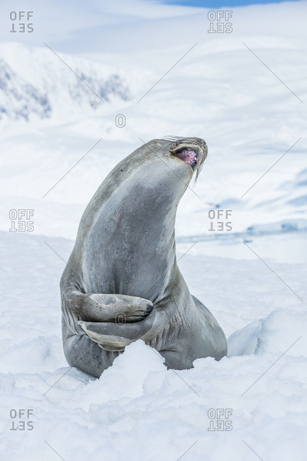 Southern Elephant Seal (Mirounga leonina) looking up with mouth open, Neko Harbor, Antarctic Peninsula, Antarctica