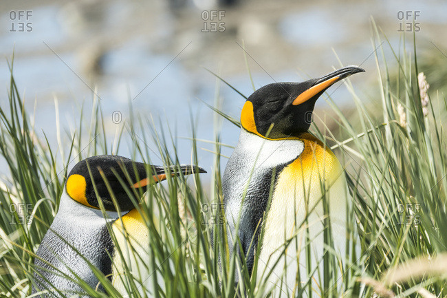 King penguins (Aptenodytes patagonicus) standing in the tall grass