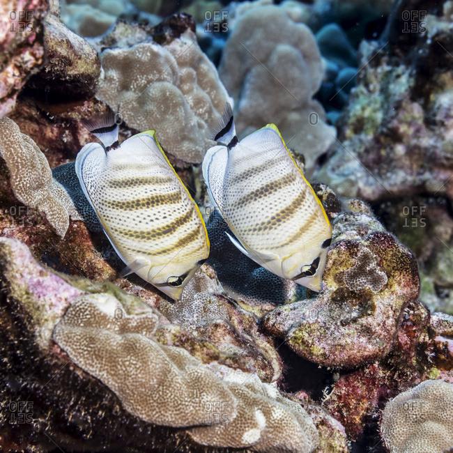 Multiband Butterflyfish (Chaetodon multicinlus), a Hawaiian endemic fish species, pair feeding on lobe coral (Porites lobata) photographed while scuba diving the Kona coast, Kona, Island of Hawaii, Hawaii, United States of America
