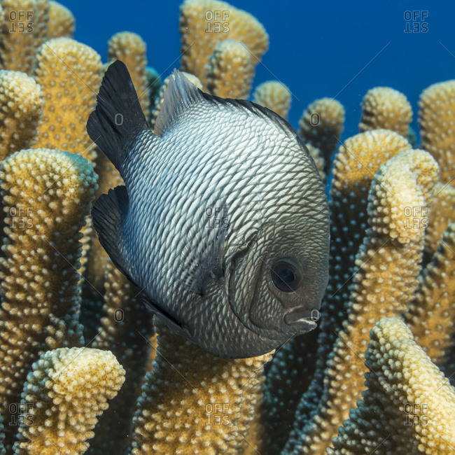Hawaiian Dascyllus (Dascyllus albisella), a Hawaiian endemic fish species, next to antler coral (Pocillopora eydouxi) photographed while diving the Kona coast, Kona, Island of Hawaii, Hawaii, United States of America