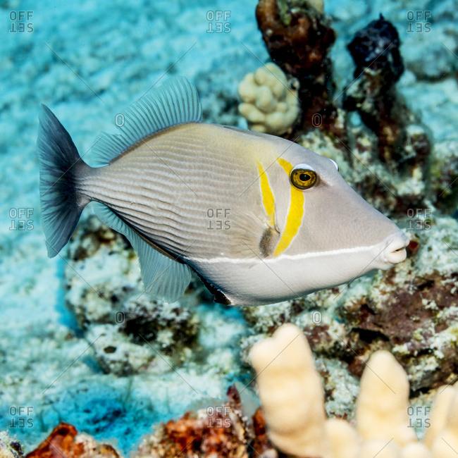 Lei Triggerfish (Sufflamen bursa) that was photographed while scuba diving off the Kona coast, Kona, Island of Hawaii, Hawaii, United States of America