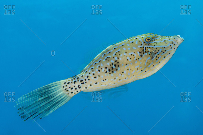 Scrawled Filefish (Aluterus scriptus) portrait taken while scuba diving the Kona coast, Kona, Island of Hawaii, Hawaii, United States of America