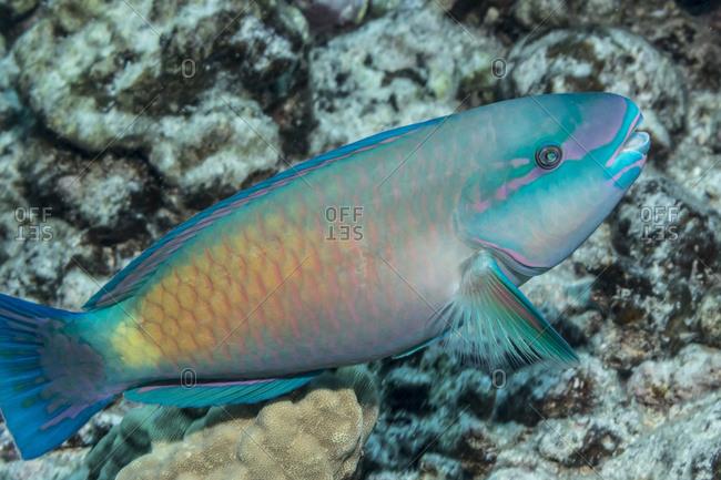 Terminal phase male Bullethead Parrotfish (Chlororus sordidus) photographed while scuba diving the Kona coast, Kona, Island of Hawaii, Hawaii, United States of America