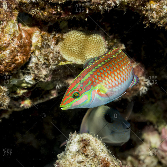 Ornate Wrasse (Halichoeres ornatissimus) poised next to a lava-coral reef on the Kona coast, Kona, Island of Hawaii, Hawaii, United States of America