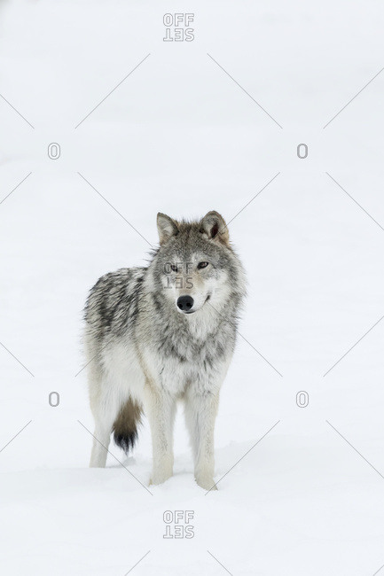 Female wolf (canis lupus) captive in Alaska Wildlife Conservation Center, Portage, Alaska, United States of America