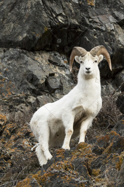 Dall ram (ovis dalli), Chugach Mountains south of Anchorage, South-central Alaska, Alaska, United States of America