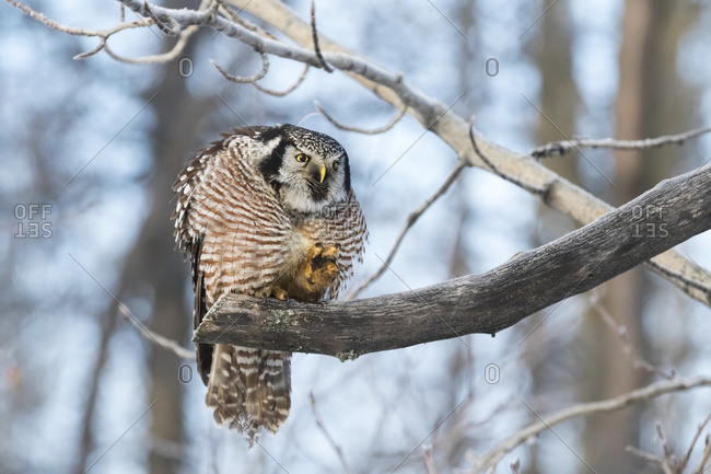 Hawk Owl (Surnia ulula) hunting for vole near the Anchorage Airport in winter, south-central Alaska, Alaska, United States of America