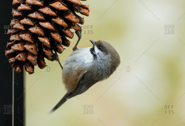 A small bird clings to a pine cone, Alaska, United States of America