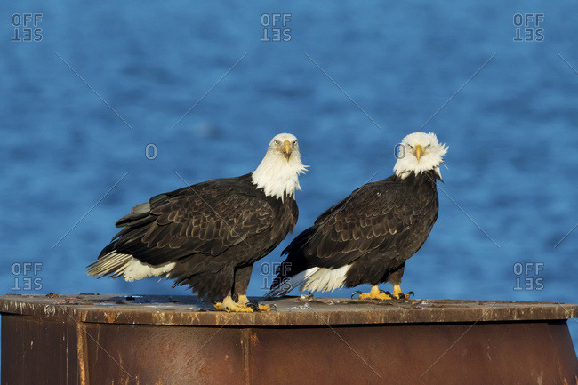 Bald eagles (Haliaeetus leucocephalus) perched together on a brown structure, Alaska, United States of America