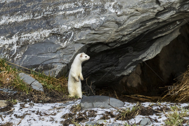 Short-tailed weasel (Mustela erminea) standing alert, Portage Valley, South-central Alaska, Alaska, United States of America