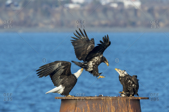 Bald eagles (Haliaeetus leucocephalus) landing and perched on a structure at the water's edge, Homer Spit, Alaska, United States of America