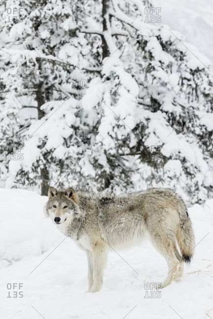 Female wolf (canis lupus) standing in snow in winter, captive in the Alaska Wildlife Conservation Center, Portage, Alaska, United States of America