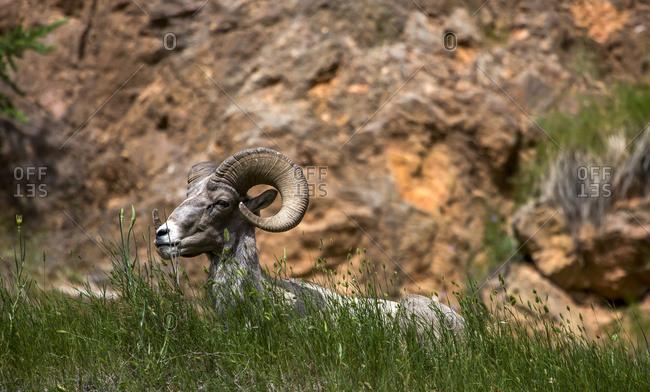 Bighorn sheep (Ovis canadensis), Kootenay National Park, British Columbia, Canada
