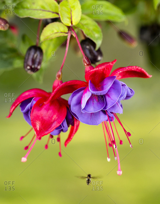 Close up of fuchsia and insect in garden, South-central Alaska, Eagle River, Alaska, United States of America