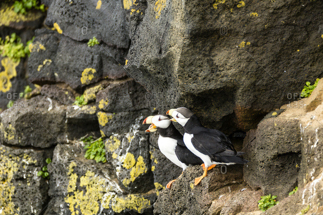 Horned Puffins (Fratecula corniculata) perched on the cliffs of St. Paul Island, Southwest Alaska, Alaska, United States of America