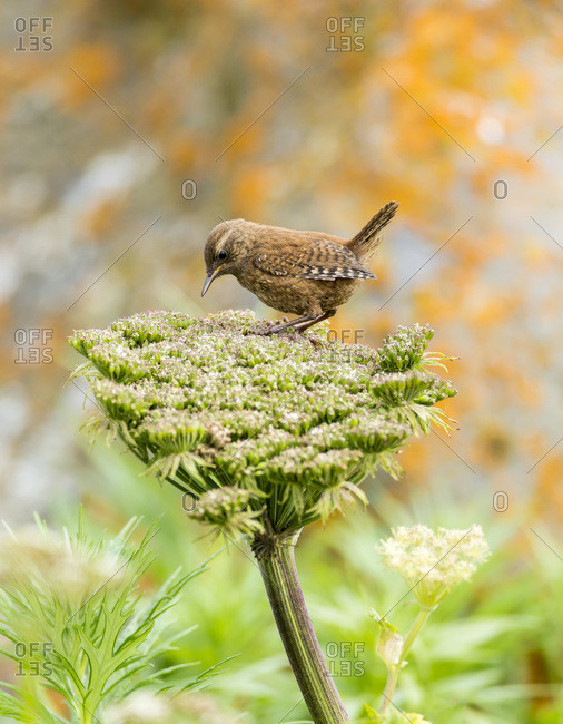 Pacific wren (Troglodytes pacificus) perched on wild celery on St. Paul Island in Southwest Alaska, St. Paul Island, Pribilof Islands, Alaska, United States of America