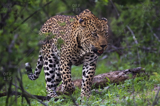 Male Leopard (panthera pardus) walking through the trees, Sabi Sand Game Reserve, South Africa