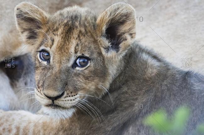 Lion cub (panthero leo), Sabi Sand area, South Africa