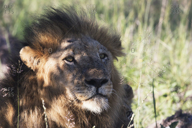 Male lion (panthero leo) relaxing in the grass, Sabi Sands Game Reserve, South Africa